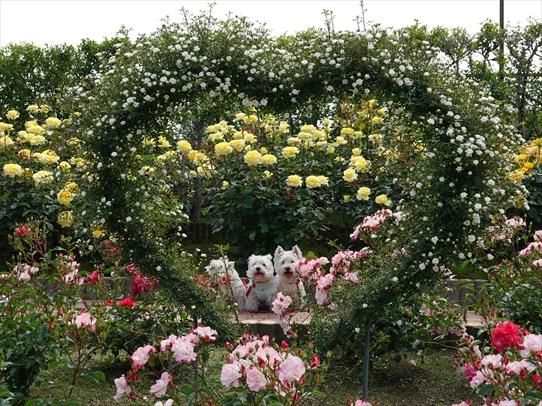 rosepark15_2021052816315575a.jpg