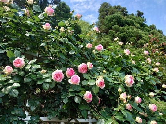 rosepark18_202105281722294bc.jpg