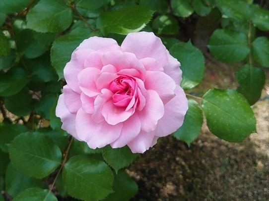 rosepark43.jpg