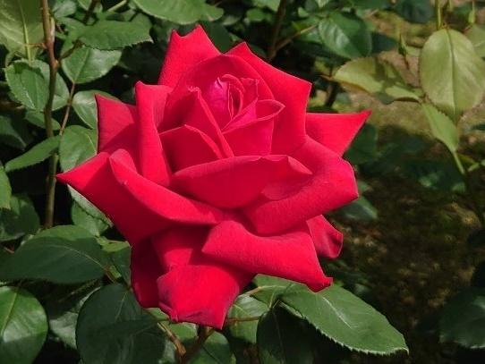 rosepark45.jpg