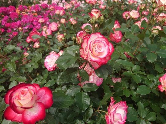 rosepark4_20210528155018cd1.jpg