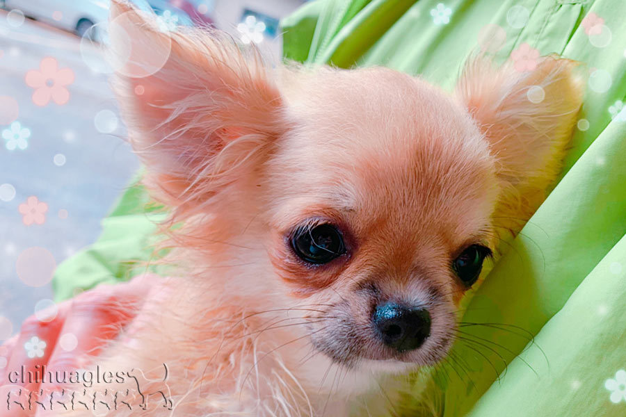 可愛いチワワの子犬