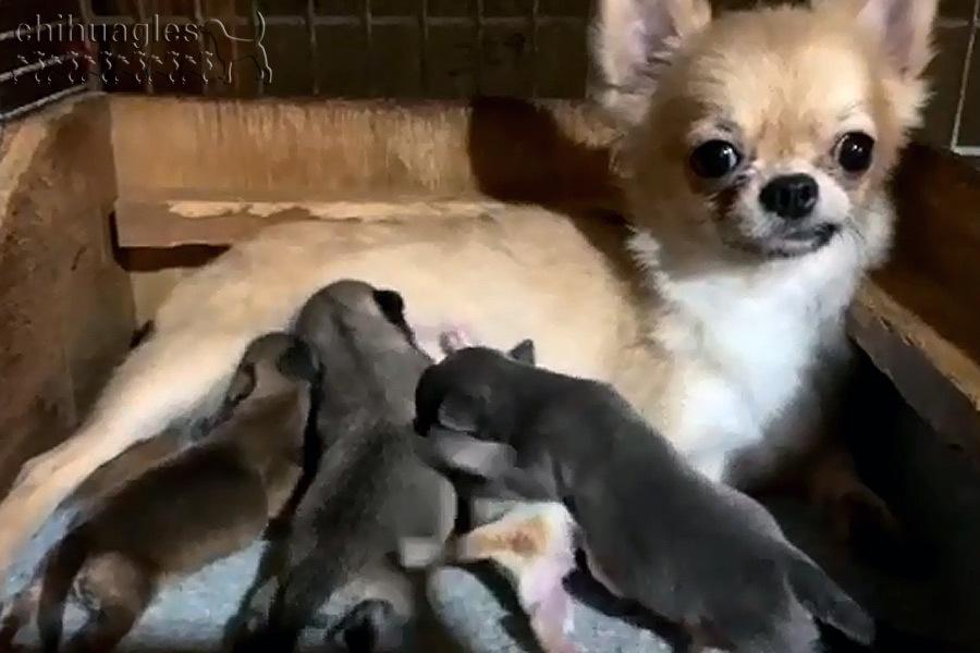 育児をするチワワ