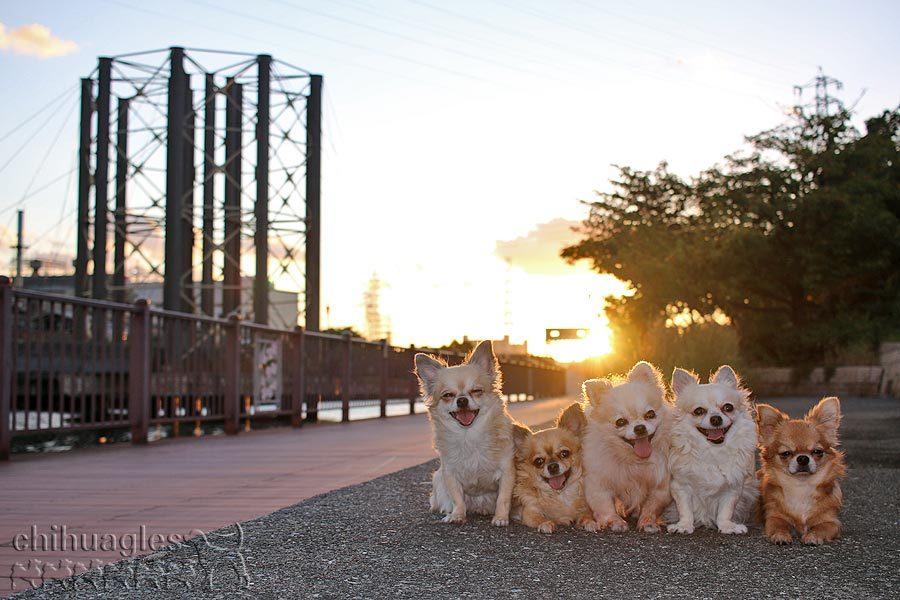 尼崎市のであい橋でチワワ5匹が整列して記念撮影