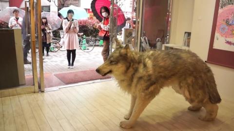 本物のオオカミ_01