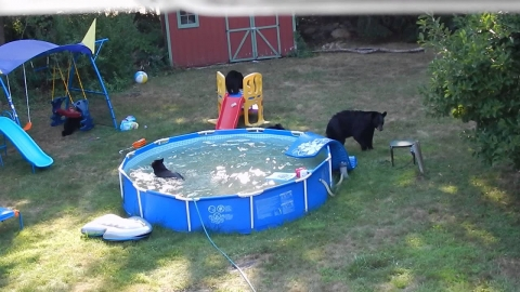 プールがクマに占拠_01