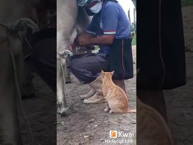 ミルクの飲み方が独特すぎるネコちゃんが凄い!!