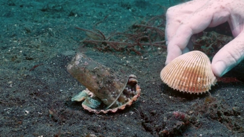 貝殻に隠れて落ち着きたいタコ_01