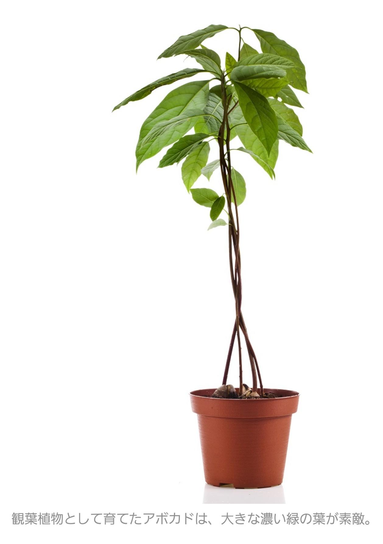 アボカドの種 観葉植物