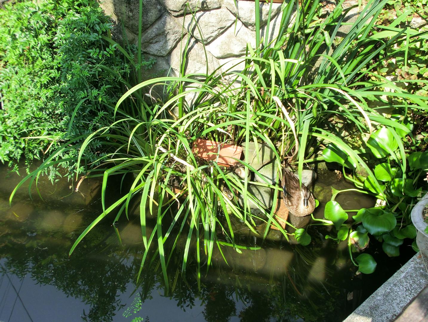 洗足流れ カルガモの巣 上池台散策2