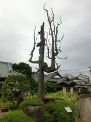 円乗院 空襲で焼けた高野槙1 代田・代沢散策4