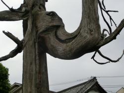 円乗院 空襲で焼けた高野槙2 代田・代沢散策4