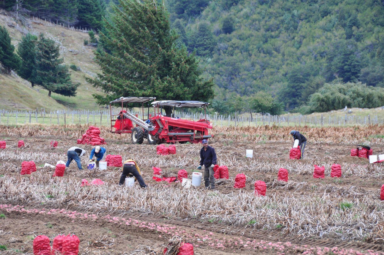 cosecha de papas