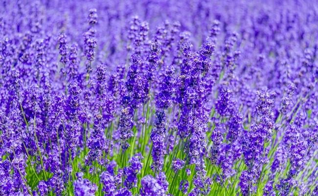 lavendar001.jpg