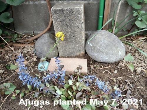 1a 500 20210507 ajugas at Eru Erie tomb