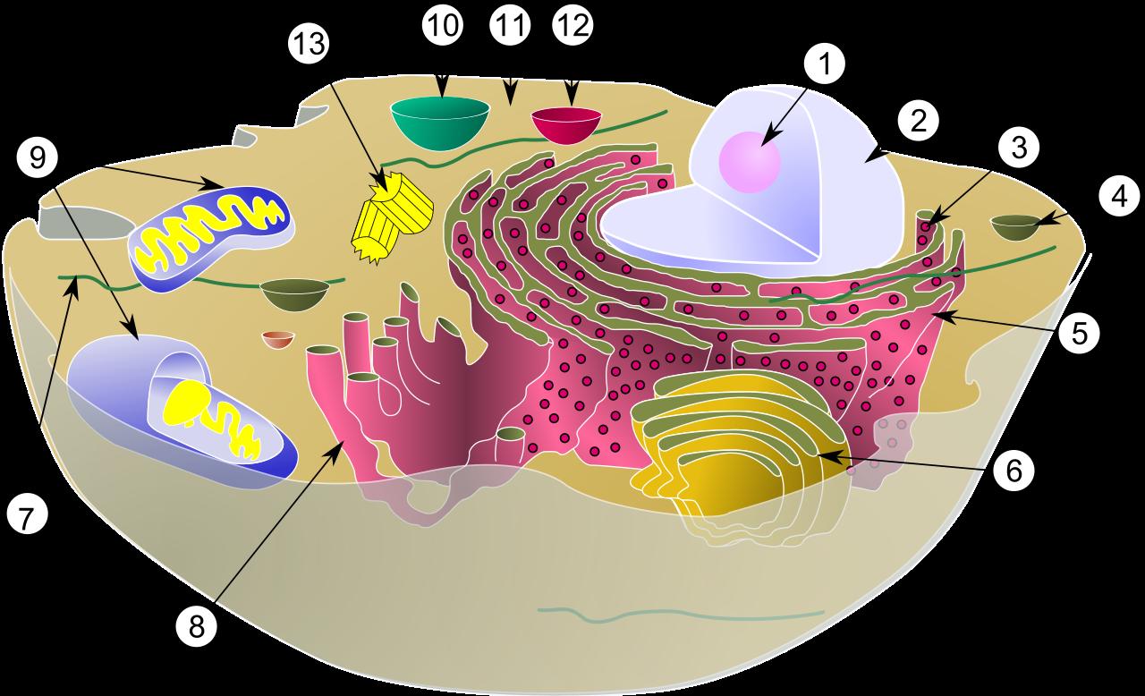 典型的な動物細胞の模式図