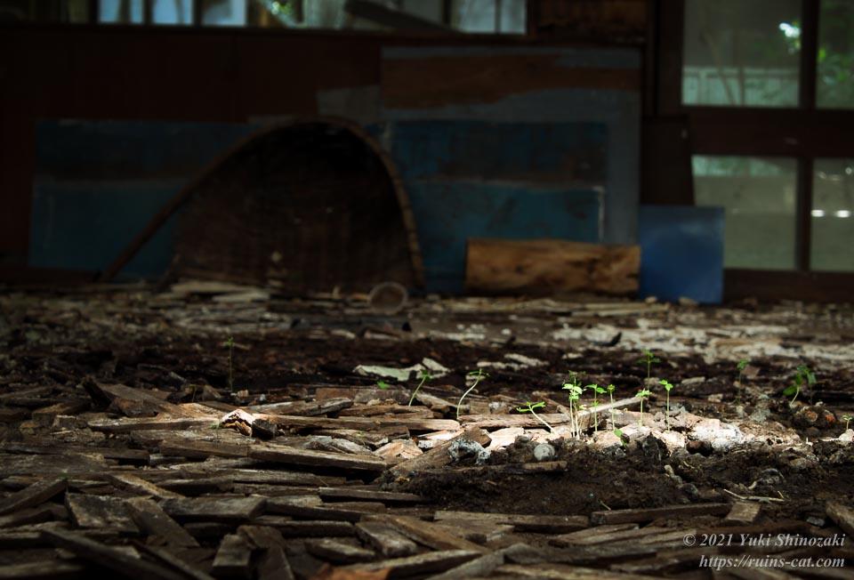 大教室の床から生えてきた新芽