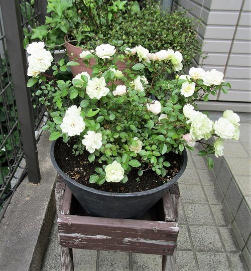 210515mini -rose