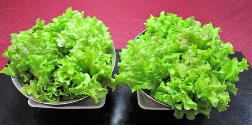 210523leaf-lettuce2-2