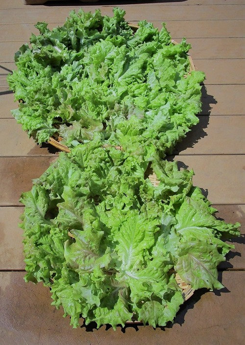 210523leaf-lettuce2