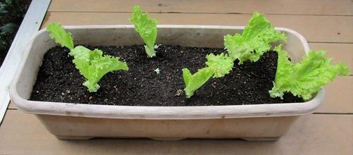 210523leaf-lettuce3