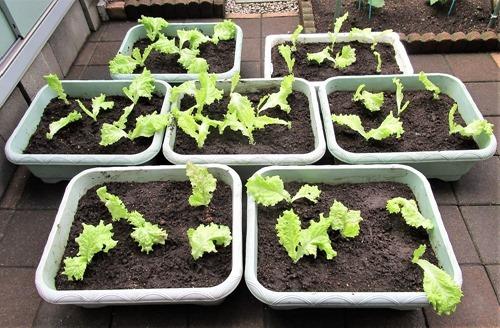 210523leaf-lettuce4
