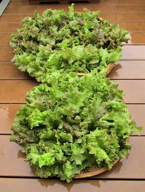 210606leaf-lettuce2