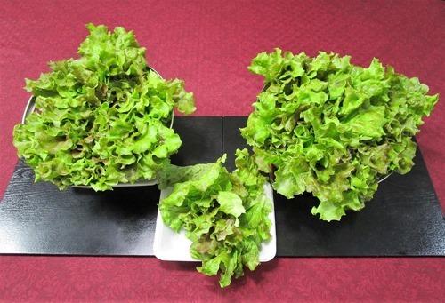 210606leaf-lettuce3
