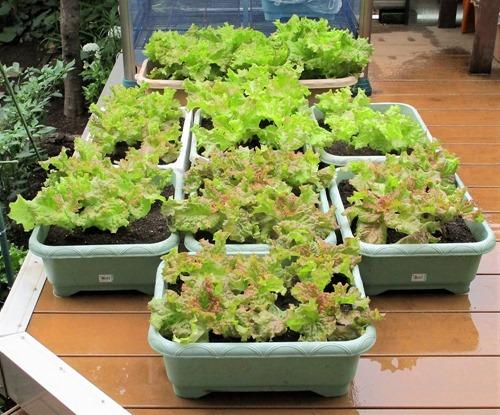 210606leaf-lettuce