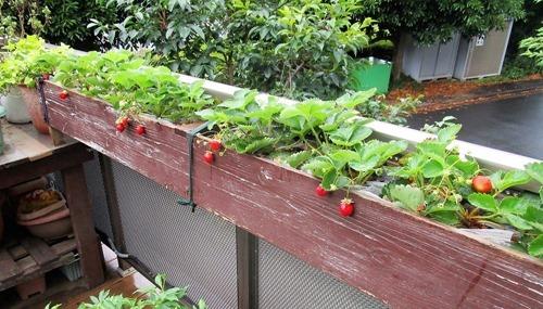 210616strawberry