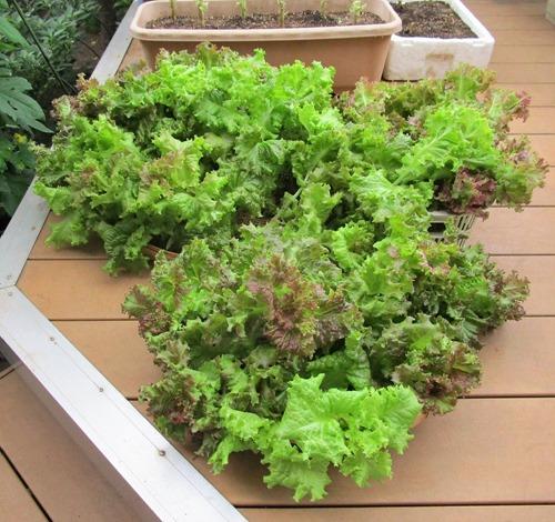 210627leaf-lettuce2