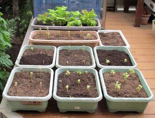 210627leaf-lettuce3