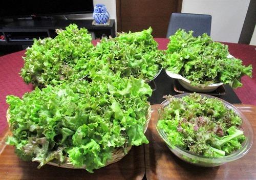 210627leaf-lettuce4