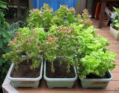 210627leaf-lettuce