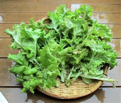 210704leaf-lettuce2