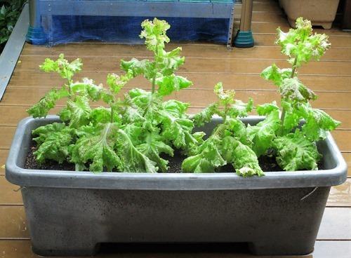 210704leaf-lettuce