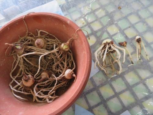 スカドクサス・ムルチフロスHaemanthus(Scadoxua)multiflorsu、冬越資球根はまだ小さいままです。2021.04.09