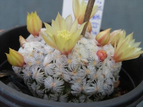 マミラリア デュエイ Mammillaria duwei (淡黄色花)でししょうか、ボディーはこんな痛くない虫刺な感じです。2021.05.04