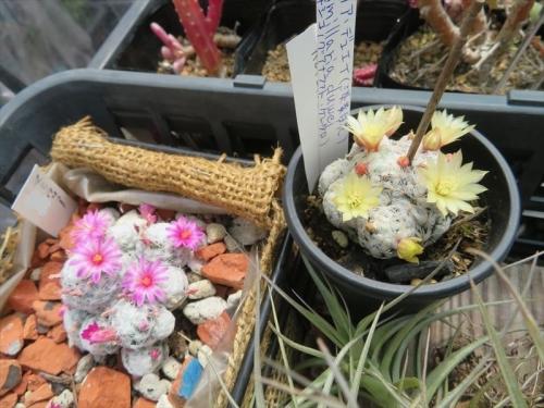 マミラリア デュエイ Mammillaria duwei 右、マミラリア 姫春星(ピンク花)左、大きさ的にはこんな感じです。2021.05.04