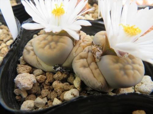 ぱっちり開いた、初夏咲リトープスは白花でした~♪2021.05.10