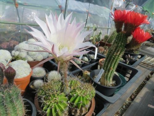 エキノプシス交配、昼咲き萎まず夜も開いている♪淡いピンク混じり白花、柱状赤花開花中♪2021.05.16