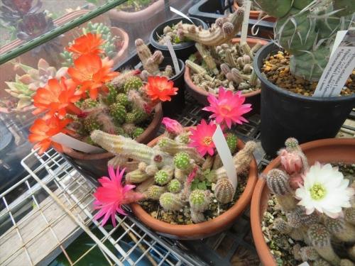 カマエケレウス、フロリダオレンジ、ピーチフラッシュ、シュガーホワイト、開花中♪2021.05.14