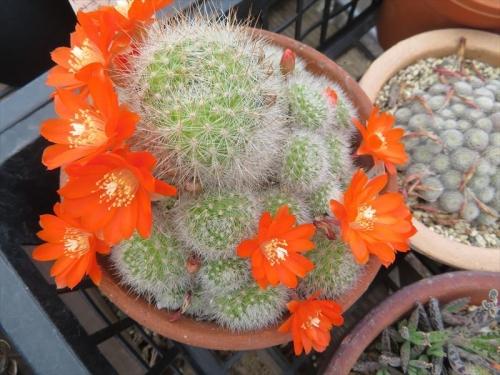 レブチア、オレンジ花、開花はじめ~♪2021.05.15