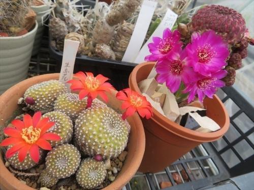 スルコレブチア刺弱い痛くないタイプ、紫ラウシー、珠赤花開花中♪2021.05.15
