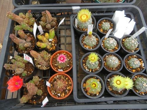 エキノケレウス・桃太郎、ギムノカリキウム・緋花玉、アストロフィツム・兜丸、雨でも温室内で半開き開花しています。2021.05.21