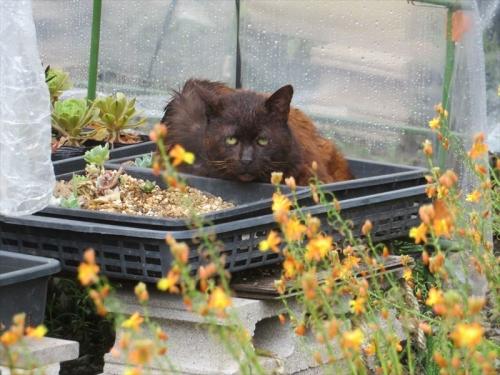 赤茶黒ブサ野良猫ちゃん、最近目につくようになりました。多肉挿し木苗床の上で雨宿り~2021.05.21