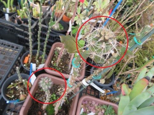テフロカクタス・アレキサンデリー(Tephrocactus alexanderi v bruchii)2020.07.27実生苗を実生接ぎ2020.08.23、9ヶ月経過姿~2021.05.26