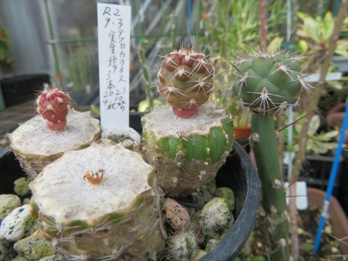テフロカクタス・アレキサンデリー(Tephrocactus alexanderi v bruchii)2020.07.27実生苗を実生接ぎ2020.09.03、9ヶ月経過姿~2021.05.26