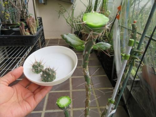テフロカクタス・アレキサンデリー(Tephrocactus alexanderi v bruchii)キリン団扇接ぎ木苗を胴切りしました。2021.06.23