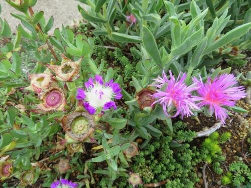 エレプシア・千歳菊(Erepsia=Kensitia pillansii)、セムナンテ・ラセラ(清流)(Semnathe lacera)種子ができました~♪2021.06.27